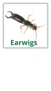 Exterminating Earwigs