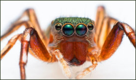Get rid of Jumping Spiders