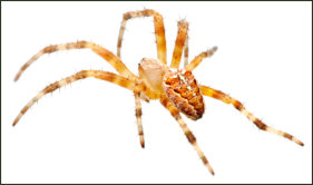 House Spiders Exterminating