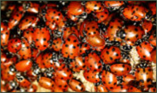 Lakeshore Exterminating Company can get rid of ladybugs